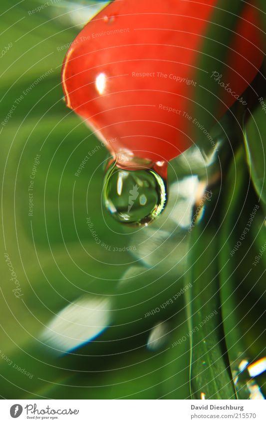 Schon wieder Tropfen... Natur Pflanze grün Sommer Wasser rot Frühling Frucht Sträucher Wassertropfen nass rund Kugel Tau feucht