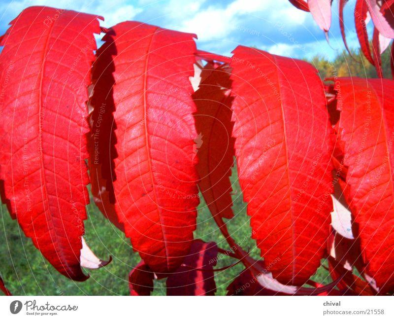 Rotes Herbstlaub Blatt Herbst Essigbaum