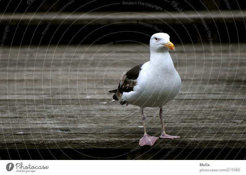 Möwe, schottisch weiß Tier dunkel Holz braun Vogel stehen Steg unfreundlich grimmig Mantelmöwe