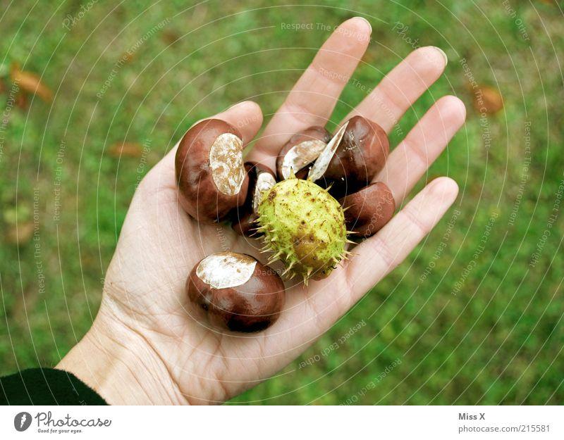Den Herbst in der Hand Natur Baum Pflanze braun Suche rund Freizeit & Hobby festhalten Sammlung Frucht Schalen & Schüsseln Basteln finden stachelig
