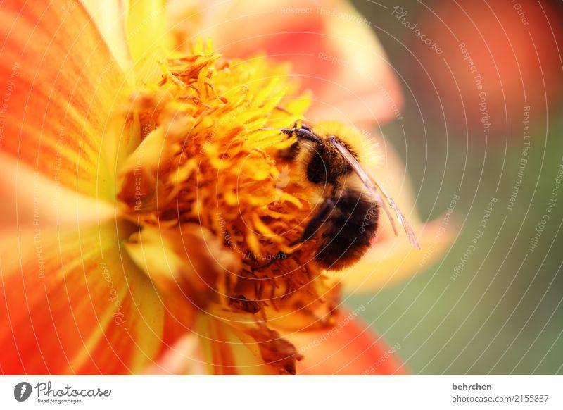 von bienchen und blümchen Natur Pflanze Tier Sommer Schönes Wetter Blume Blatt Blüte Garten Park Wiese Wildtier Biene Flügel Hummel 1 Blühend Duft fliegen
