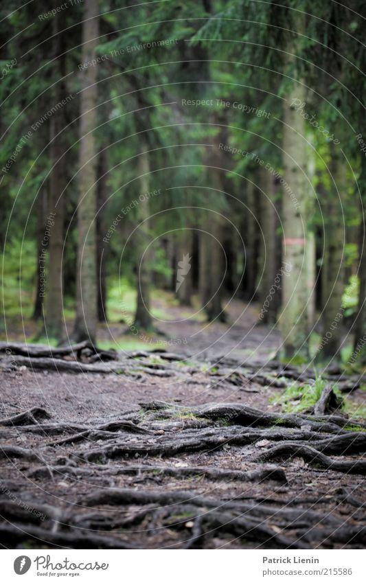 Wurzelwald [2] Natur Baum Pflanze ruhig Wald dunkel Landschaft Umwelt Wege & Pfade Regen Wetter Erde Klima Urelemente Fußweg mystisch
