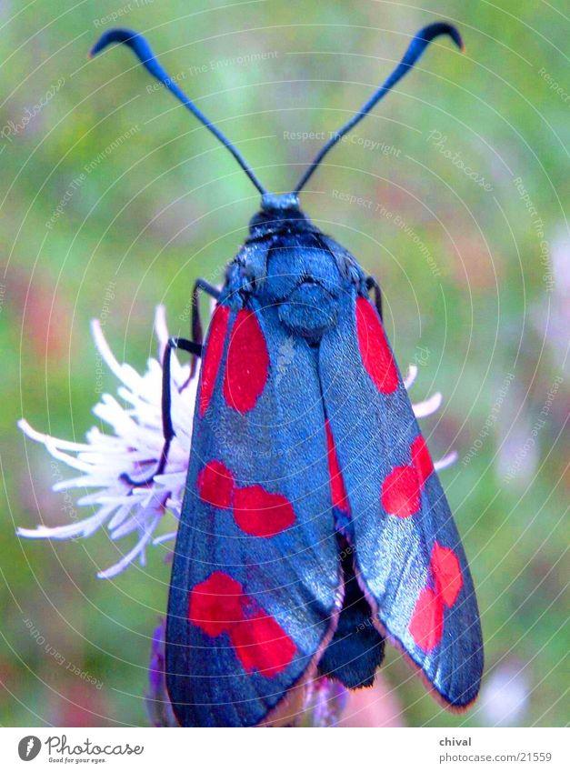 Schwarz und Rot Blüte Flügel Schmetterling Färbung Widderchen
