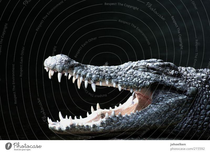 bite me schwarz Tier Kraft offen gefährlich bedrohlich Wildtier Gebiss Tiergesicht stark exotisch Aggression Maul Monster Safari Schuppen