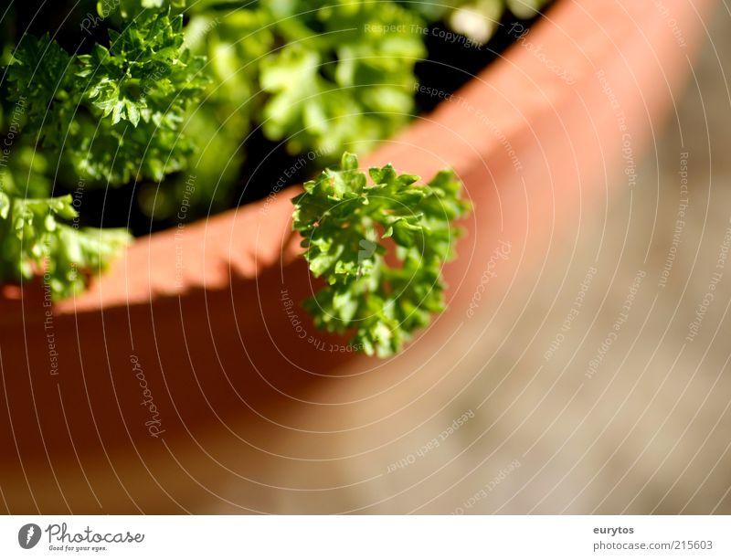 Peter Silie Kräuter & Gewürze Natur Pflanze Nutzpflanze Gesundheit grün Petersilie Topfpflanze Küchenkräuter Außenaufnahme Makroaufnahme Textfreiraum unten