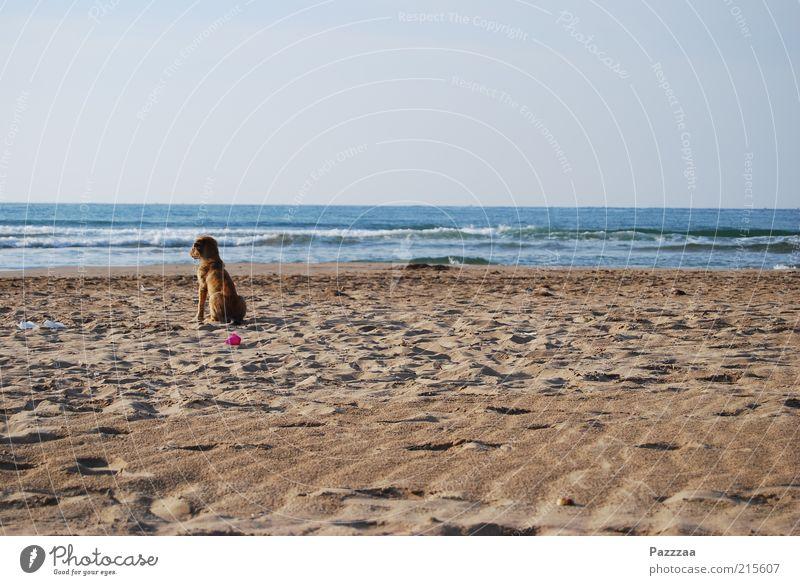 Melancholischer Streuner Erholung ruhig Ferien & Urlaub & Reisen Ferne Freiheit Sand Luft Wasser Horizont Wellen Küste Strand Meer Tier Hund 1 genießen sitzen