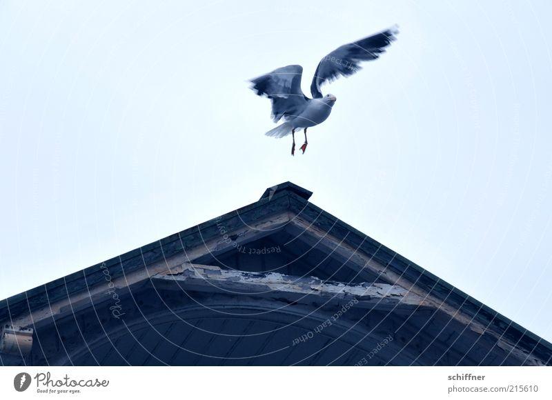 Ich? sitzenbleiben? vergiss es! Tier 1 fliegen flattern Überraschung Blick Flügel Höhenflug abgehoben Dachgiebel Holzhaus Möwe Himmel Menschenleer