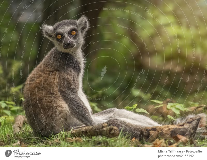 Wenig motiviert Natur Tier Sonne Sonnenlicht Schönes Wetter Baum Gras Tiergesicht Fell Affen Katta Halbaffen Auge Ohr 1 Erholung glänzend leuchten Blick sitzen