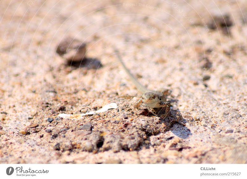 Ton in Ton Tier klein Felsen Geschwindigkeit niedlich heiß trocken beige Echsen