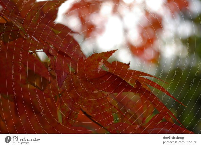 ja ist's denn schon Herbst? Natur Pflanze Schönes Wetter Baum Blatt schön grün rot ruhig Umwelt Farbfoto Außenaufnahme Nahaufnahme Menschenleer