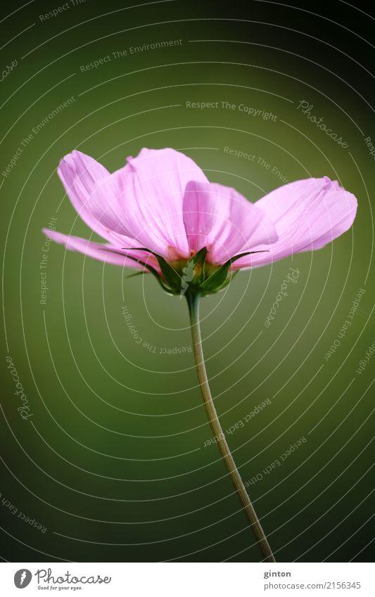 Cosmea Blume Sommer Garten Natur Pflanze Blüte Schmuckkörbchen Blumenstrauß Blühend glänzend elegant nah grün rosa Blumenporträt rosa Blüte Zierpflanze