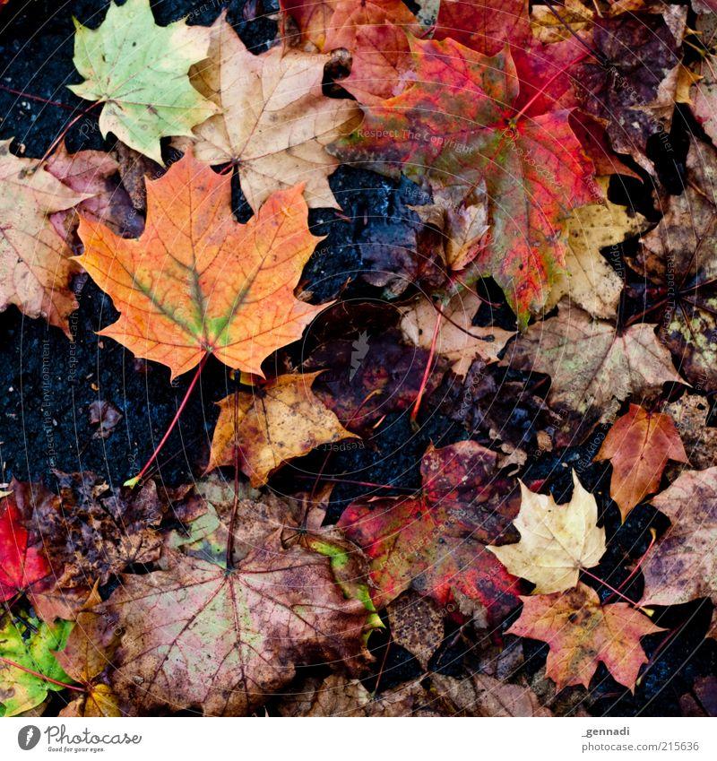 Dreckiger Herbst Natur alt Blatt Herbst dreckig nass authentisch Boden Vergänglichkeit natürlich hässlich Ehrlichkeit Wahrheit Herbstlaub schlechtes Wetter Herbstfärbung