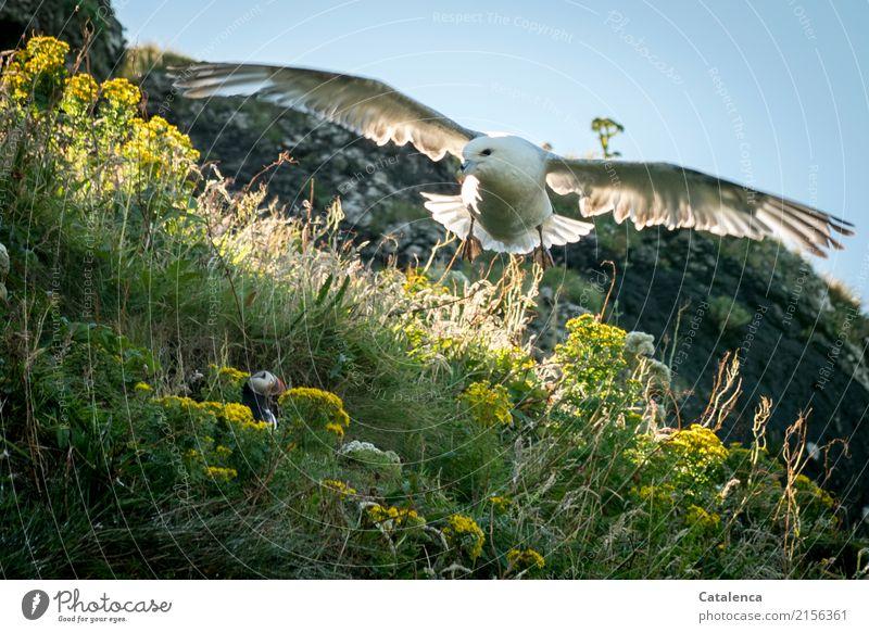 In Gefahr Jagd Natur Pflanze Tier Himmel Sommer Schönes Wetter Blume Gras Blüte Wildpflanze Geiskraut Felsen Vogel Möwe Papageitaucher 2 Blühend fliegen kämpfen