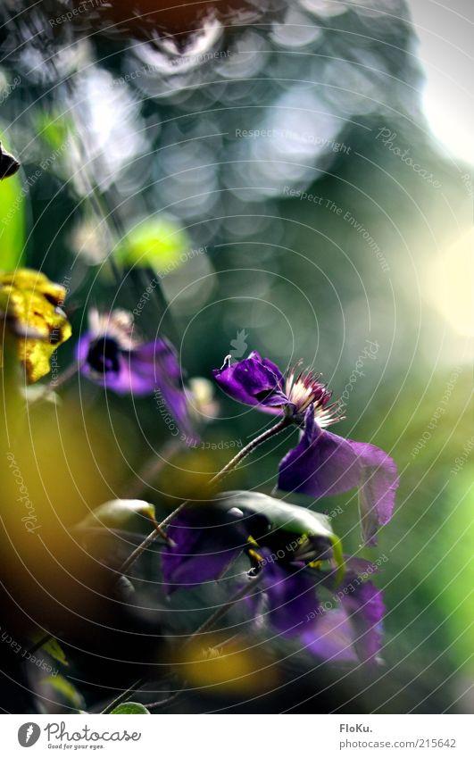 Welk geht der Sommer Natur schön alt grün Pflanze Blatt gelb Blüte Stimmung Umwelt ästhetisch Wachstum Wandel & Veränderung violett Vergänglichkeit zart