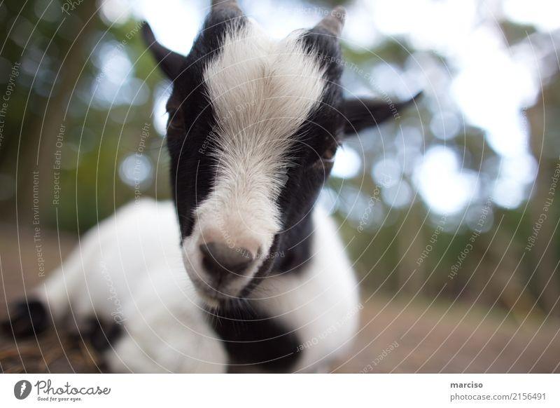 Ziege Tier Nutztier Wildtier Tiergesicht Zoo Streichelzoo Ziegen 1 Tierjunges füttern liegen nah niedlich schwarz weiß Tierliebe Umwelt Umweltschutz Spielen