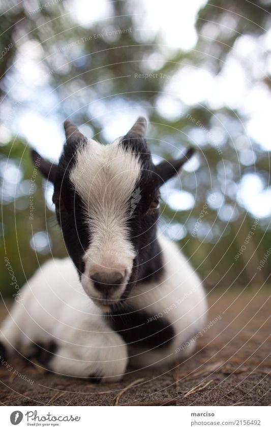 Ziege schön weiß Tier schwarz Tierjunges Umwelt liegen Wildtier süß niedlich weich Fell Umweltschutz Zoo Umweltverschmutzung Nutztier