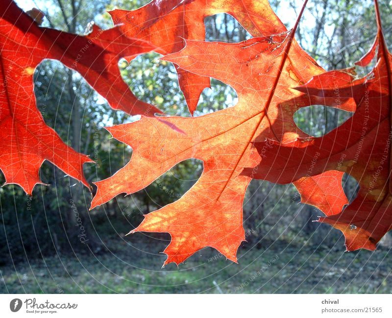 Herbstlaub Sonne rot Blatt Farbe