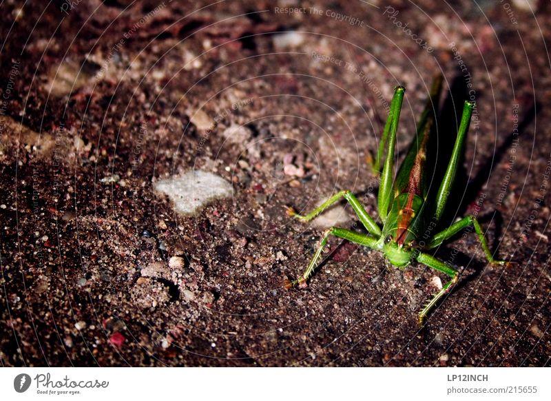 Mr. Grasshopper Natur grün Tier Umwelt Herbst Leben Erde niedlich Schönes Wetter Leichtigkeit Ekel hüpfen Heuschrecke beängstigend Feldheuschrecken
