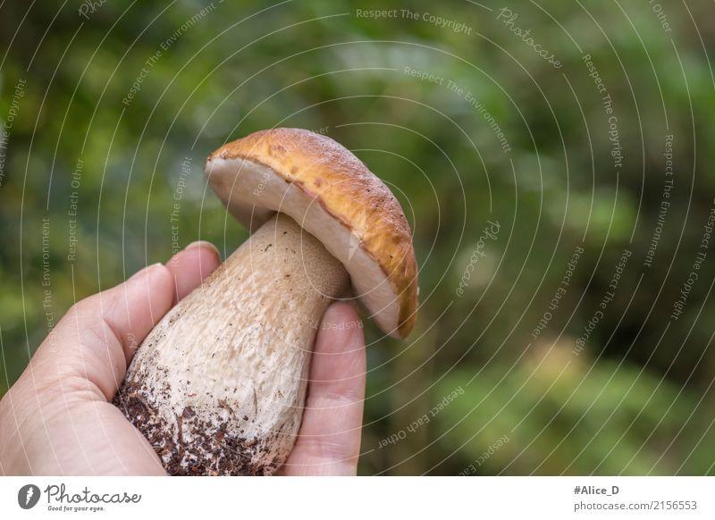 Steinpilz in der Hand wald grün Hintergrund Lebensmittel Gemüse Pilz Steinpilze Ernährung Bioprodukte Vegetarische Ernährung Lifestyle schön Gesunde Ernährung
