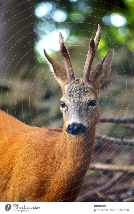 Roe Capreolus Capreolus Jagd Sommer Küche Mann Erwachsene Natur Landschaft Tier Gras Park Wiese Wald Oase Wildtier 1 natürlich wild braun weiß Hupe Ohren jung