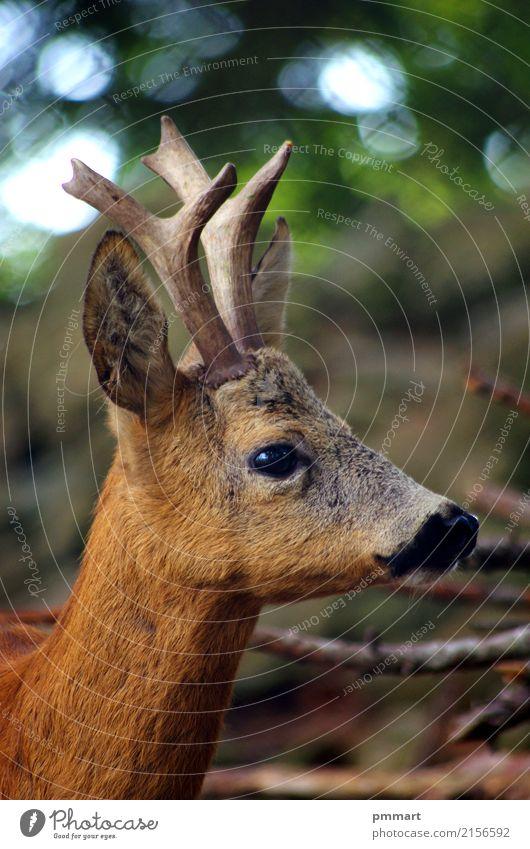 Roe Capreolus Capreolus Jagd Sommer Küche Mann Erwachsene Natur Landschaft Tier Gras Park Wiese Wald Oase natürlich wild braun weiß Hupe Ohren jung Nachbau