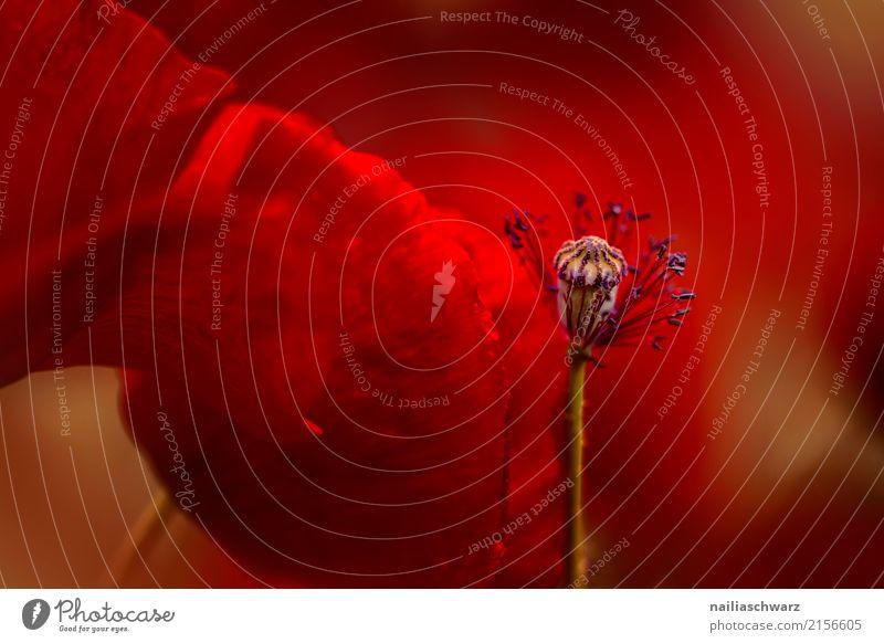 Mohn Sommer Natur Pflanze Frühling Blume Blüte Wildpflanze Mohnfeld Garten Park Feld Blühend Duft springen verblüht Wachstum elegant natürlich schön rot