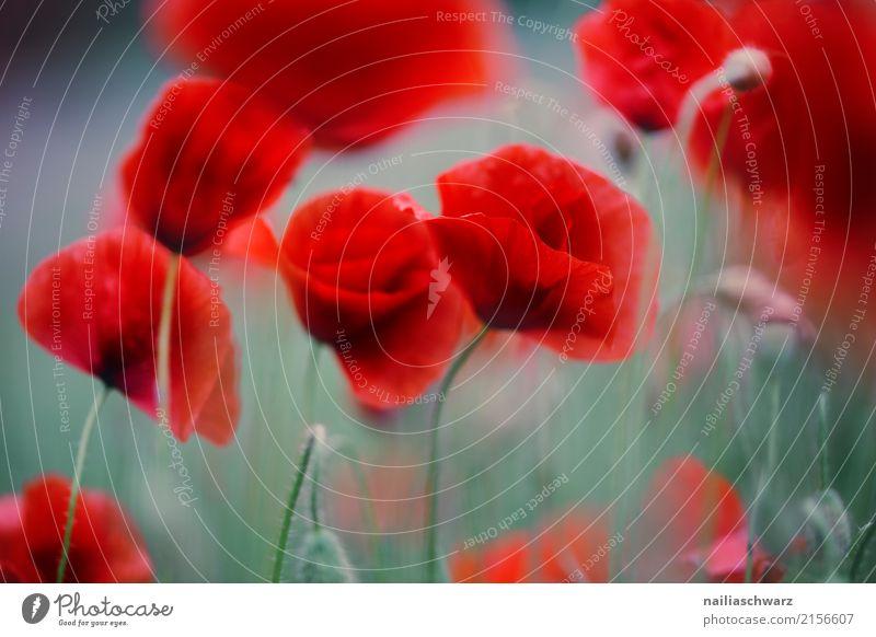 Mohnfeld Natur Pflanze Sommer schön grün Landschaft Blume rot ruhig Blüte Frühling Hintergrundbild Wiese natürlich Garten springen