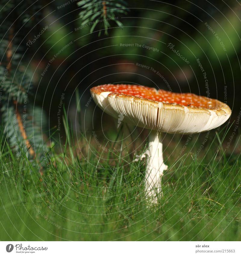 Fliegenpilz Ernährung Natur Pflanze Gras Pilz Pilzhut Rasen Blühend Wachstum ästhetisch bedrohlich natürlich schön weich grün rot weiß Glück Glücksbringer Gift