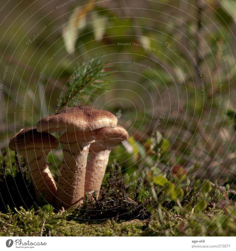 Hallimasch Natur grün Pflanze Herbst braun natürlich Lebensmittel Wachstum stehen Sträucher Vergänglichkeit Moos Pilz Biologie Waldboden Pilzhut