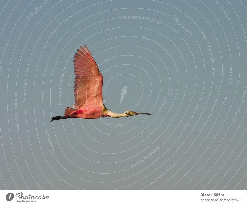 Löffler Umwelt Natur Tier Wildtier Vogel Flügel 1 Bewegung fliegen ästhetisch außergewöhnlich elegant exotisch Ferne frei gut hoch natürlich schön wild blau
