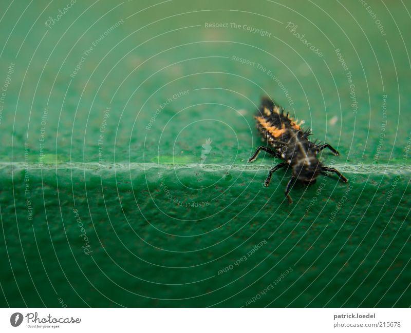[HH01] ohne Titel Umwelt Tier Käfer grün Insekt Ekel krabbeln Farbfoto Nahaufnahme Textfreiraum oben Textfreiraum unten Tag Schwache Tiefenschärfe Tierporträt