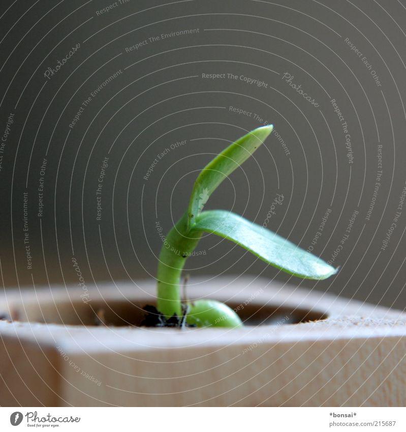 wenn ich groß bin... Natur grün Pflanze Blume Blatt Leben klein natürlich Beginn frisch Wachstum Zukunft Wandel & Veränderung zart Sonnenblume zerbrechlich