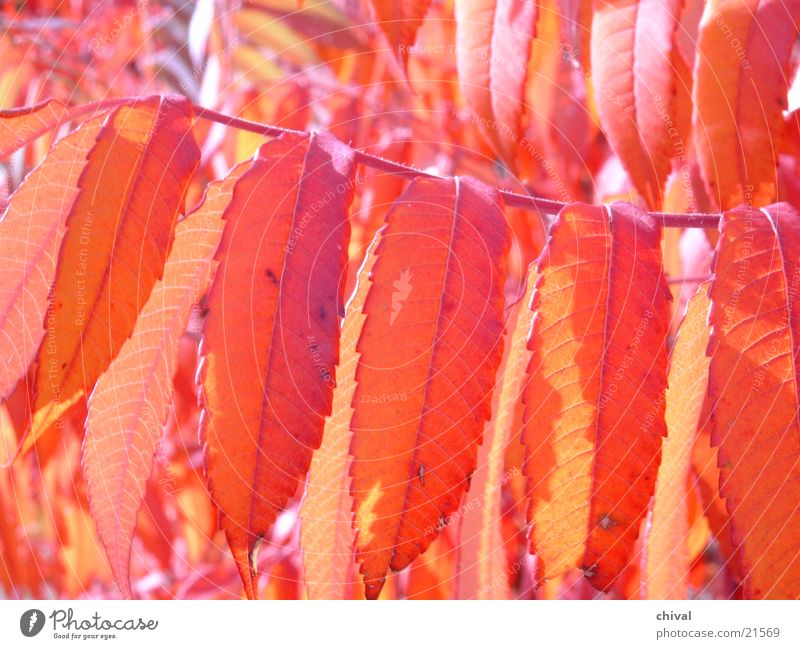 Indian Summer Blatt orange Herbstlaub Essigbaum