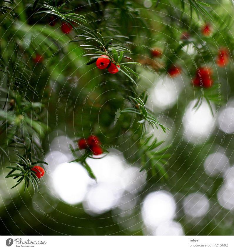 Komplementärfarbe giftig Landschaft Pflanze Luft Herbst Sträucher Wildpflanze Eibe Nadelbaum Tannennadel Licht Reflexion & Spiegelung Warnung Vorsicht hängen