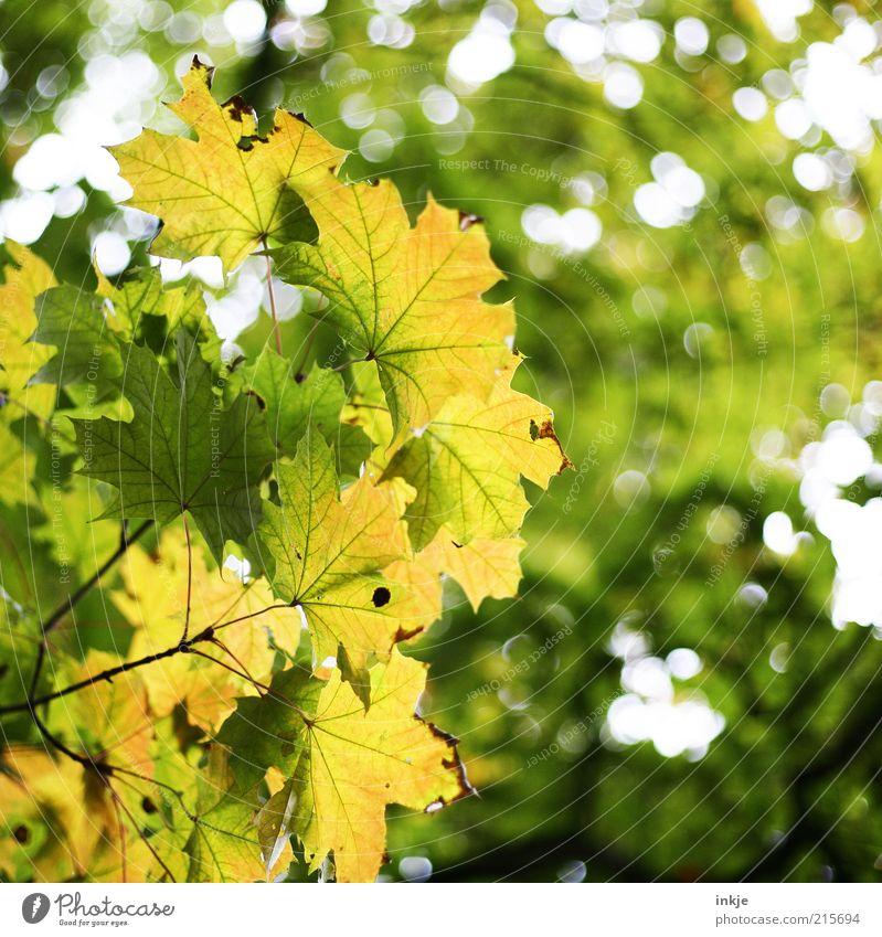 Ahorn Umwelt Natur Landschaft Pflanze Luft Himmel Sommer Herbst Baum Blatt Blätterdach Wald Lichtpunkt dehydrieren Wachstum Duft frisch schön gelb grün weiß