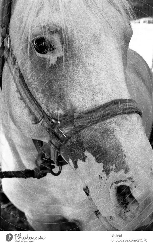 Pferdekopf Zirkus Geschirr Zaumzeug Nüstern Schimmelpilze