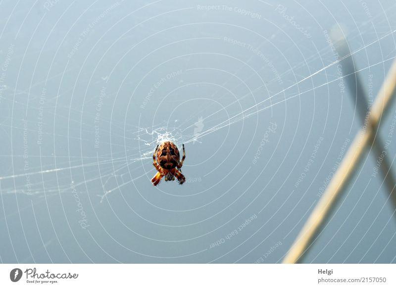 Furcht einflößend Umwelt Natur Tier Himmel Sommer Schönes Wetter Halm Moor Sumpf Wildtier Spinne 1 Spinnennetz beobachten hängen warten authentisch