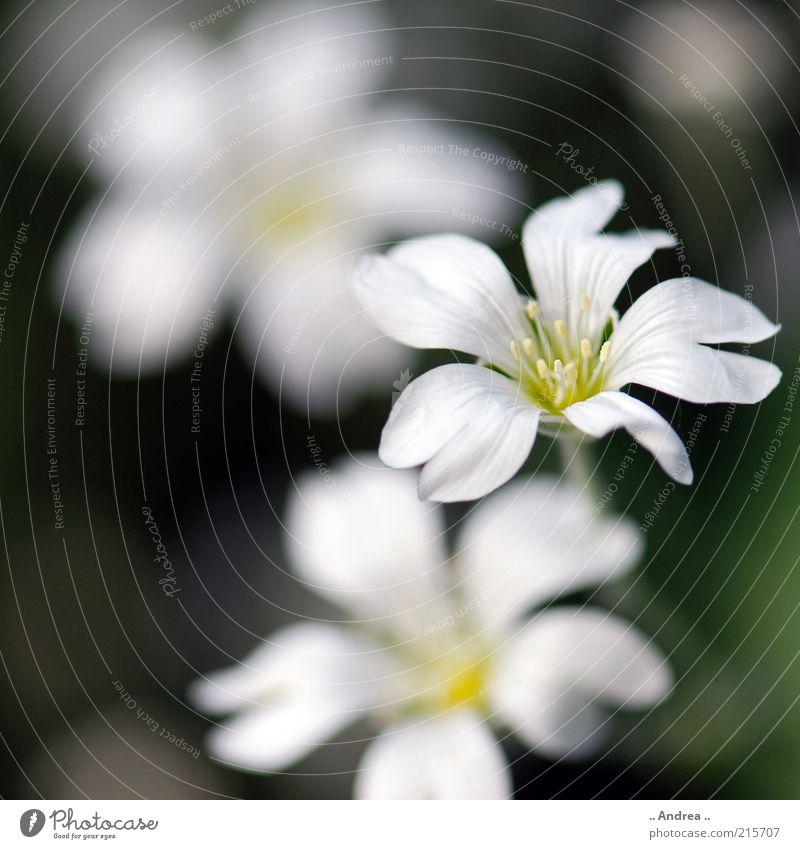 Blume Natur schön weiß Pflanze Blüte Gesundheit Wachstum Blühend süß