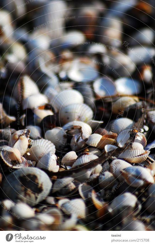 Muschelmeer Umwelt Natur Küste Strand Nordsee Ostsee Meer braun Muschelschale Muschelform Schalenweichtier unzählig viele Ast Tier Strandgut leer Detailaufnahme