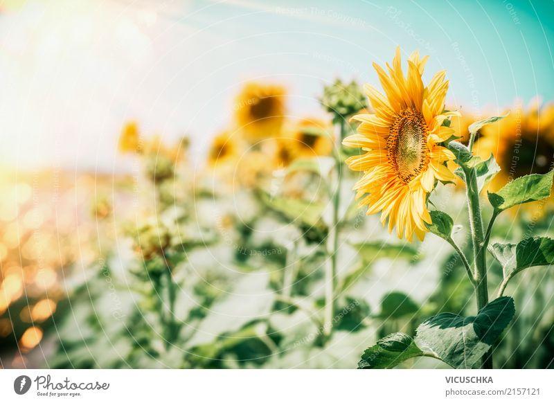 Sonnenblumen Natur Pflanze Sommer Landschaft Blume Blatt gelb Lifestyle Blüte Garten Design Schönes Wetter Pollen Nutzpflanze Sonnenblumenfeld