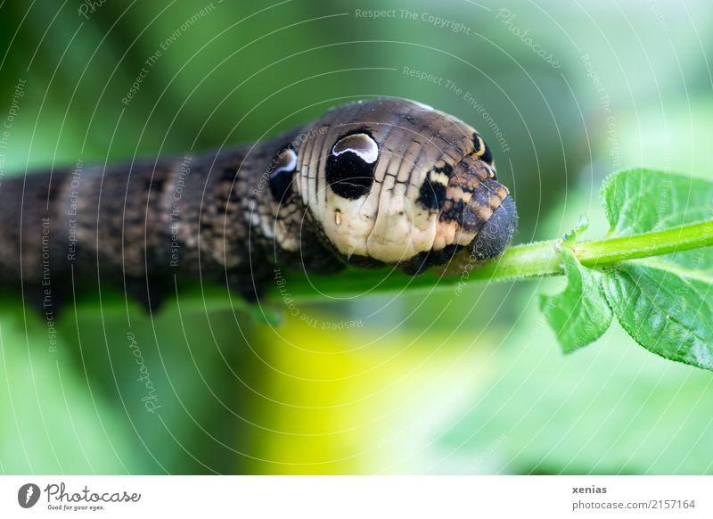 erstmal satt essen.. Tier Sommer Herbst Pflanze Blatt Garten Park Raupe Weinschwärmer Schmetterling 1 braun gelb grün schwarz Muster Farbfoto Außenaufnahme Tag