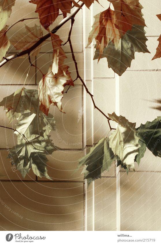 Ein Herbstbild in der Stadt Natur Baum Blatt Ahorn braun gelb Vergänglichkeit Zweige u. Äste Mauer Herbstlaub Herbstfärbung Sonnenlicht Schönes Wetter