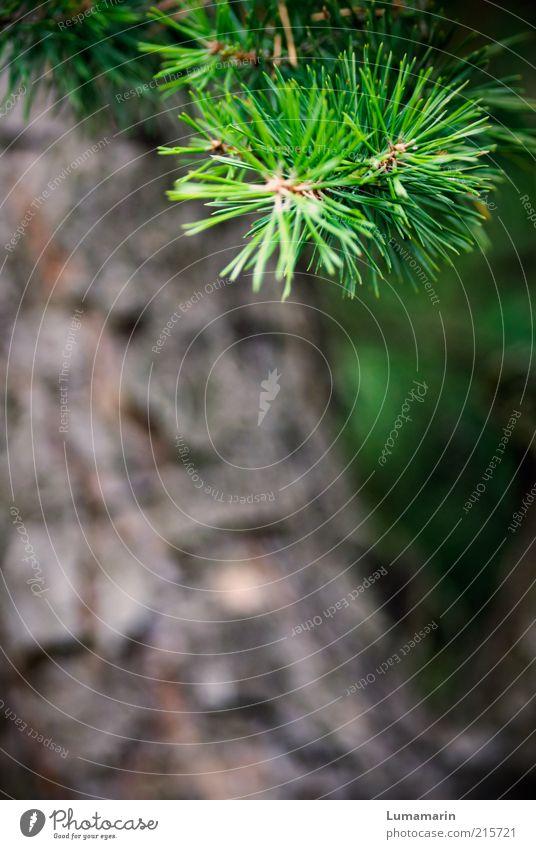 Abzweigung Natur grün Baum Pflanze Umwelt wild natürlich frisch Wachstum ästhetisch Spitze Idylle nah Umweltschutz Kiefer Zweige u. Äste