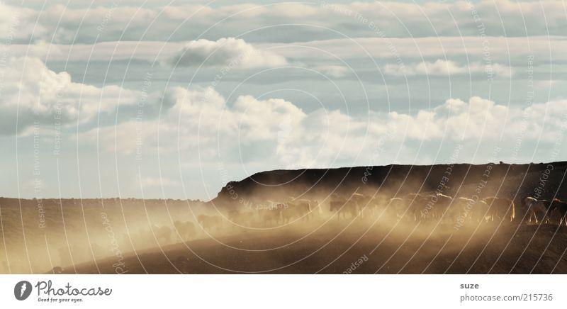 Pferdeabtrieb Umwelt Natur Landschaft Himmel Wolken Schönes Wetter Tier Nutztier Tiergruppe Herde laufen wild Island Ponys Staub durcheinander dreckig Flucht