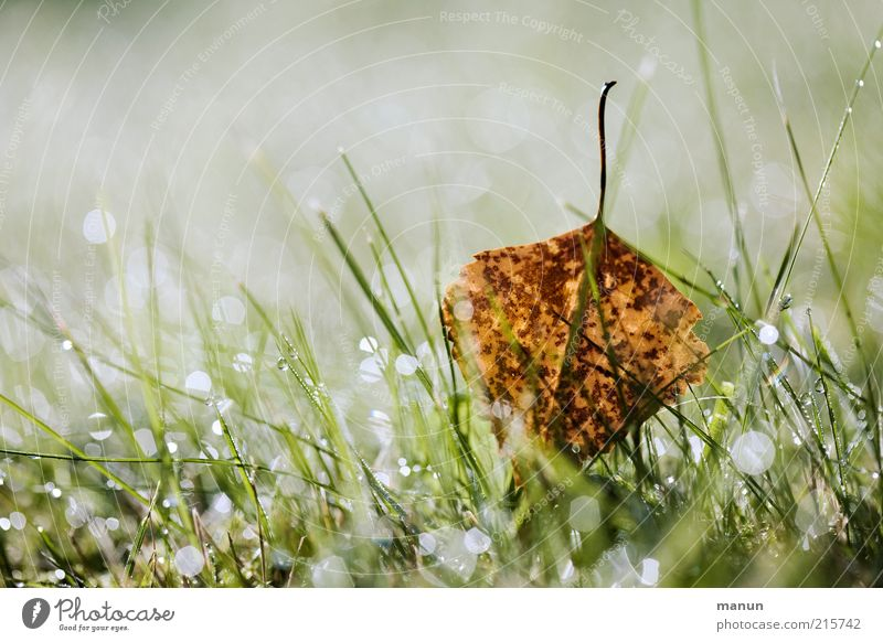 Tau-Wetter Natur Wassertropfen Herbst Gras Blatt Birkenblätter Herbstlaub herbstlich Herbstbeginn Herbstfärbung Wiese glänzend leuchten liegen frisch nass schön