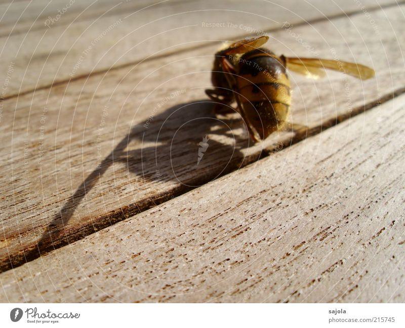 ein schatten seiner selbst Tier Totes Tier Flügel Hornissen 1 Holz Traurigkeit Trauer ästhetisch Vergänglichkeit Wandel & Veränderung Tod Hülle diagonal