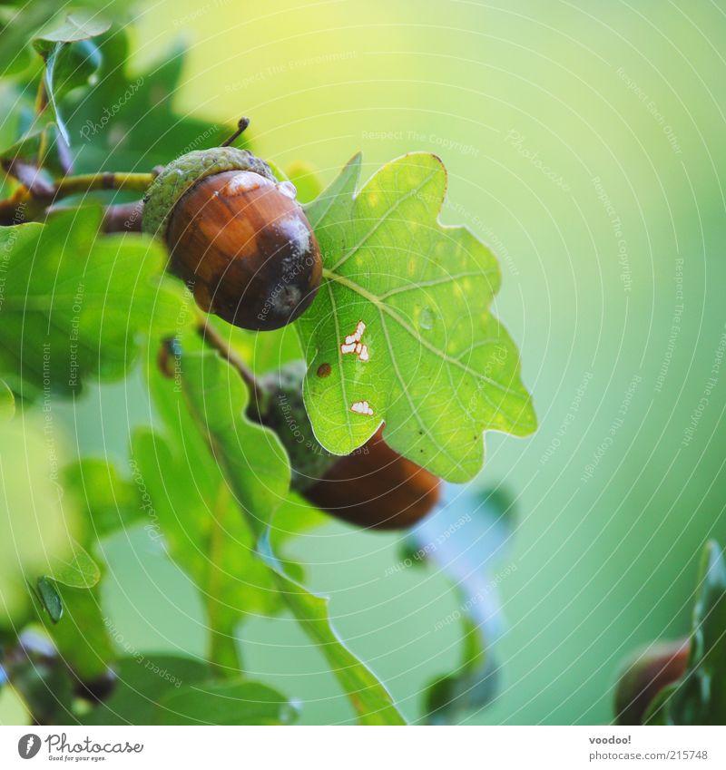 ...Hörnchen sucht! Natur Pflanze Blatt Wachstum braun grün Ehre Tapferkeit Kraft Umwelt Eicheln Eichenblatt positiv Bioprodukte hart klein Edelholz Farbfoto