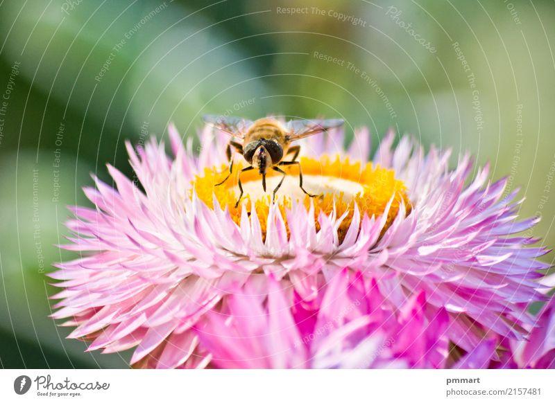 Biene fängt Blütenstaub von einer Blume ein Himmel Natur Pflanze blau Sommer Farbe schön grün weiß rot Tier gelb Frühling Wiese