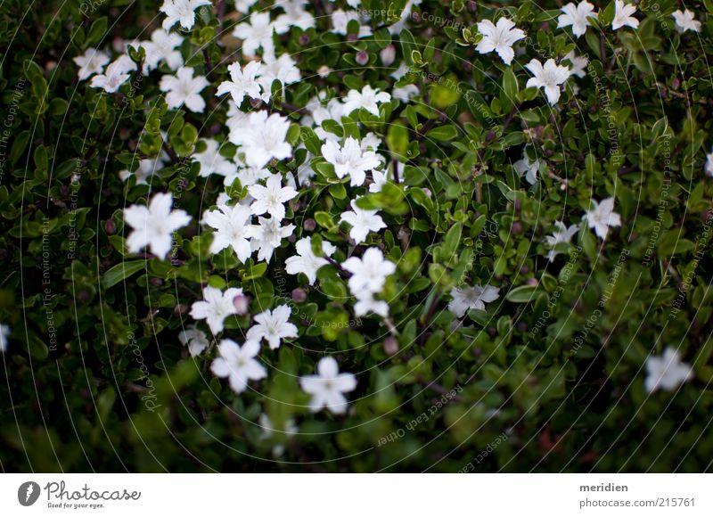 Chinesische süße Rose Natur Landschaft Pflanze Sommer Blume Blatt Blüte Wildpflanze Riff Korallenriff weiß Stimmung Tugend Fröhlichkeit Ehre Mut Vertrauen