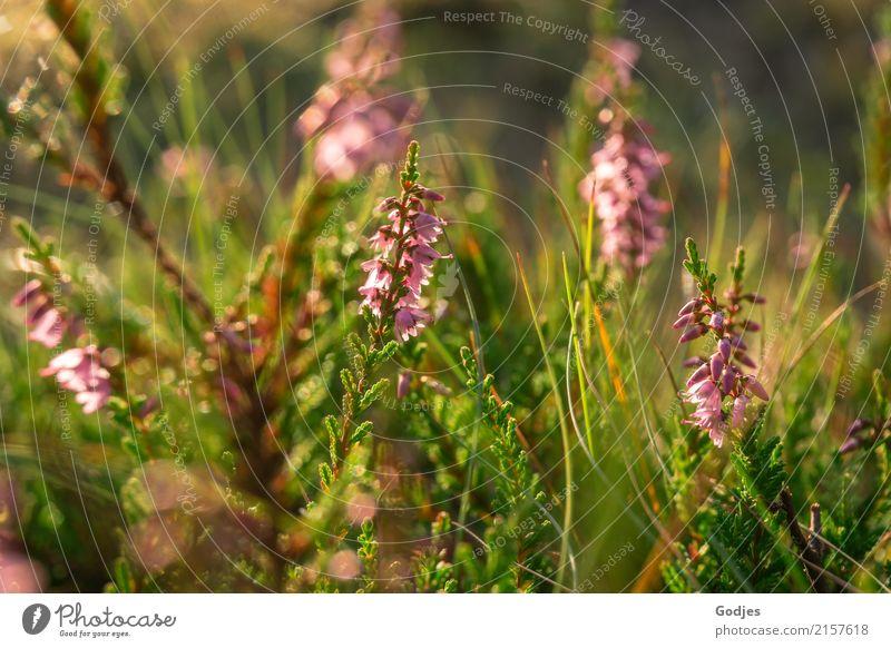Heidetraum Natur Pflanze Sommer Blüte Wildpflanze Wiese Feld Wald Menschenleer atmen beobachten Blühend Duft Erholung frisch natürlich wild braun grün violett